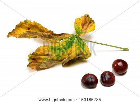 Dry Autumn Leaf And Three Seeds Of Chestnut