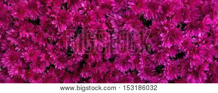 View from above on dense, magenta flowers of chrysanthemums