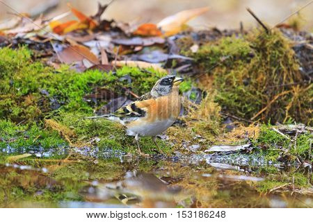 adult brambling on autumn puddle, birds drink water puddle autumn, fallen leaves, colorful leaves, bird migration