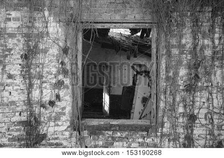 Old abandoned building and bricks wall with dead wild vine. Black and white photography