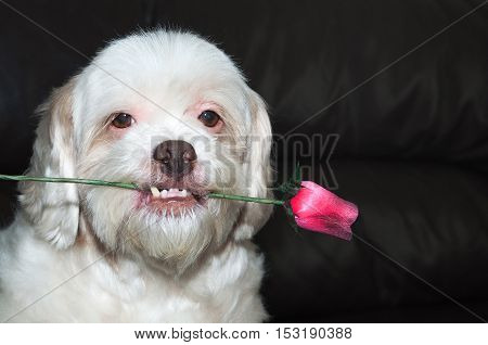 Lhasa apso romantic dog holding a rose in his mouth. Very beautiful, very loving dog. Blank space on right for use in pet shop advertising on Valentine's Day.