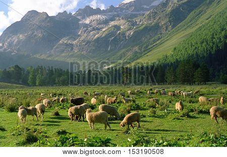 A herd of sheep on a mountain pasture in the early morning