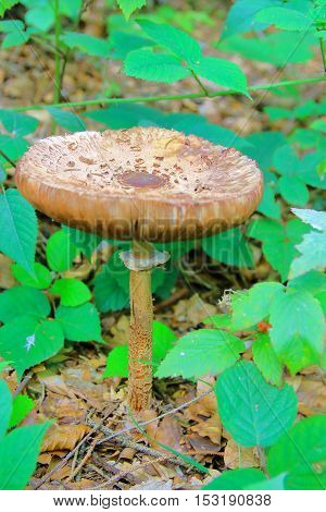 The picture was taken in Germany in the Bavarian Forest. The picture shows a forest mushroom - an umbrella motley.