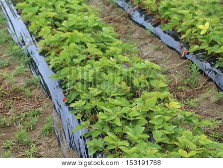 Green Strawberry Plants Ripening In Cultivated Field