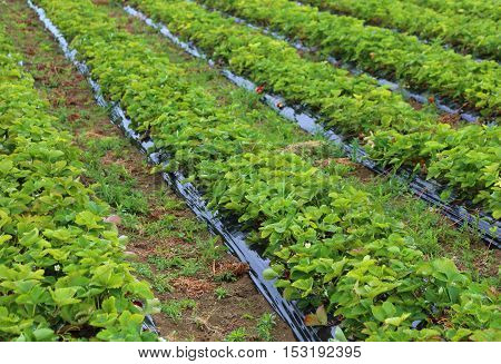 Cultivation In A Field Of Red Strawberries