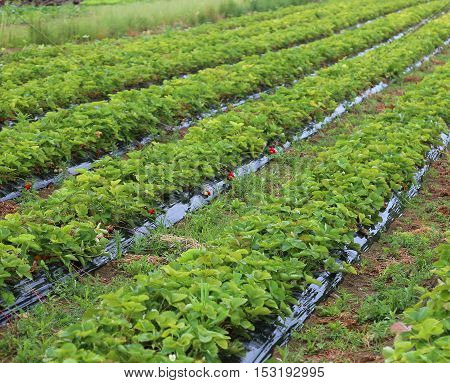 Intensive Cultivation In A Field Of Strawberries