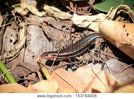 That is a Coal Skink, USA, Florida,Southeastern Five Lined Skink.