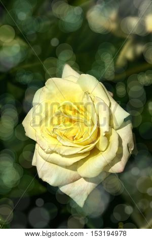 an image of a yellow rose