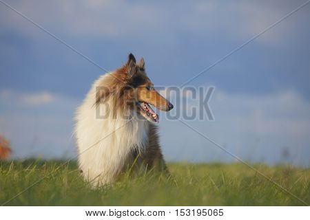 Rough Collie or Scottish Collie over nature background