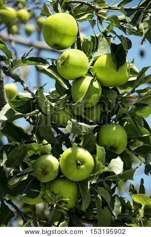 an image of apple tree