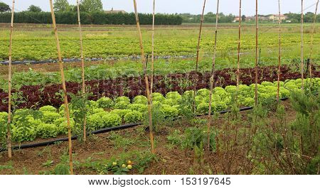 Big Green Lettuce And Radicchio In Large Vegetable Garden