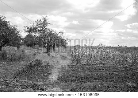 Beautiful autumn landscape with corn, tree and sky. Black and white photography