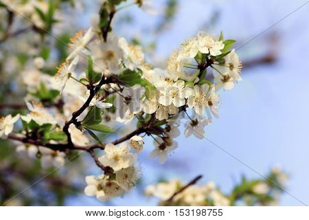 Blooming tree with white flowers. Soft focus. Spring flowers background.