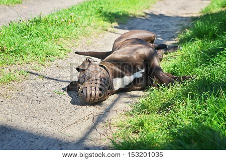 Large fighting muzzled dog lying on the road