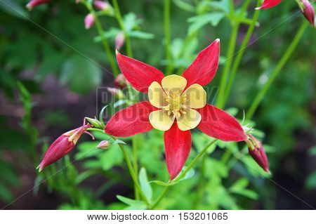 Beautiful red flower Aquilegia. Flowers in the nature