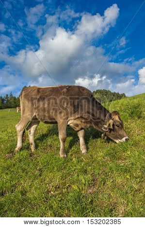 Brown milk cow in an Alpine meadow