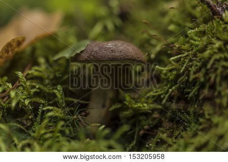 Bolete mushroom in autumn forest near Vltava river