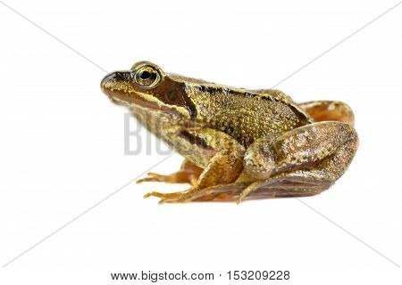 Common Brown Frog Preparing To Leap