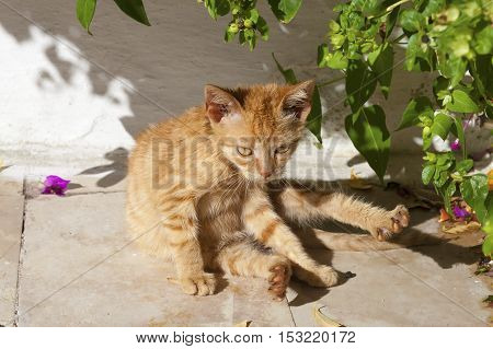 Ginger street kitten washing under a tree