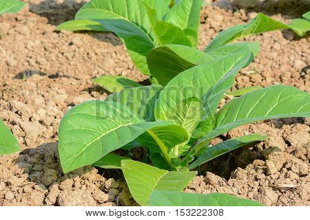 Green tobacco field,Tobacco plantation.Agricultural industry concept,agricultural concept.