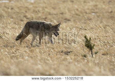 Coyote hunting for next meal in brown grass