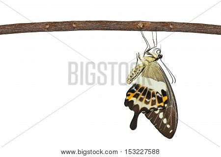 Isolated Banded Swallowtail Butterfly (papilio Demolion) Hanging On Twig