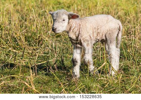 closeup of little lamb standing on spring meadow