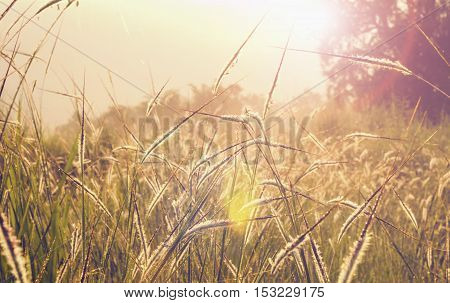 beautifull grass in nature and sunrise morning