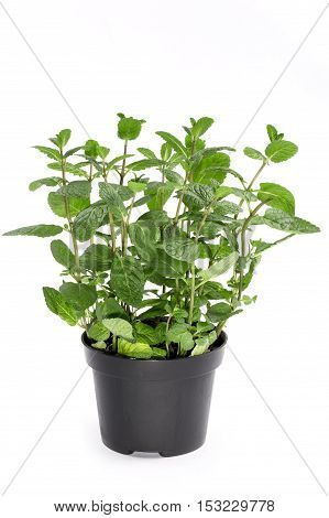 Bush scented mint in a pot on a white background