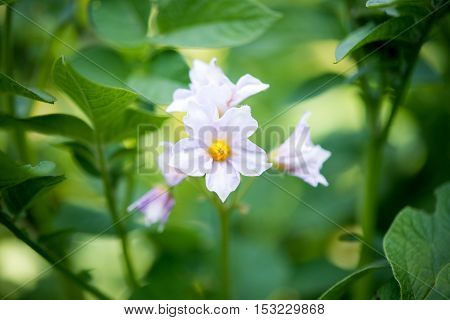 potato flowers growing in the garden green agriculture