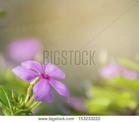 Purple Catharanthus roseus flowers. Pink Wildflower background.