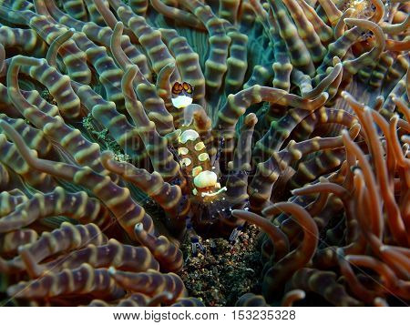 The surprising underwater world of the Bali basin, Island Bali, Puri Jati, claner shrimp
