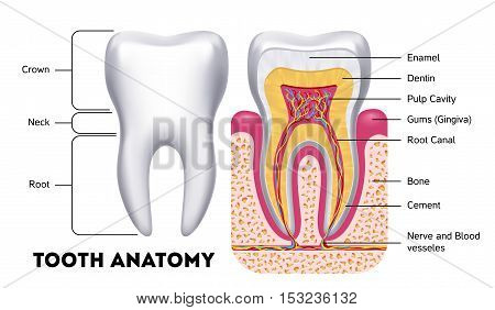 Tooth anatomy vector dental infographics. Medical banner or poster illustration