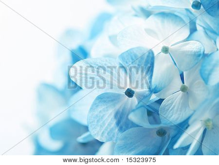 Light blue hydrangea flowers background