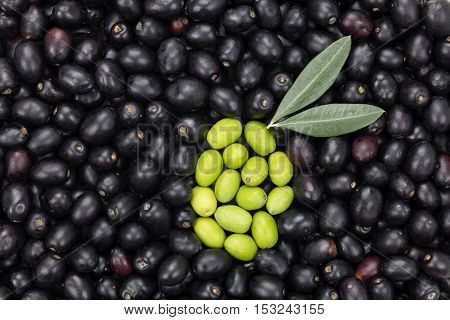 Green Olive shape on Black olive background with two leaves. Fresh Harvested Olive for oil production pattern texture. Raw fruit for olive oil. Tuscany Italy.