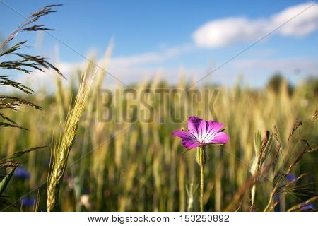 Tares of the field (Agrostemma githago) next to the ear of grain and grass in the background