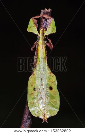Unidentified Leaf Insect