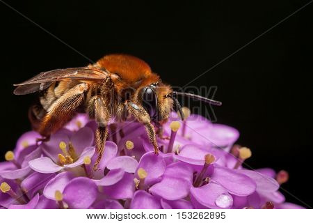 Macro Of Bee On Inflorescence