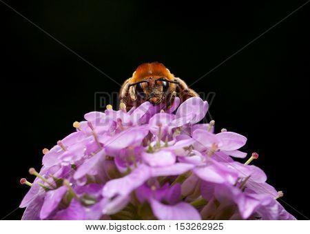 Honey Bee Portrait