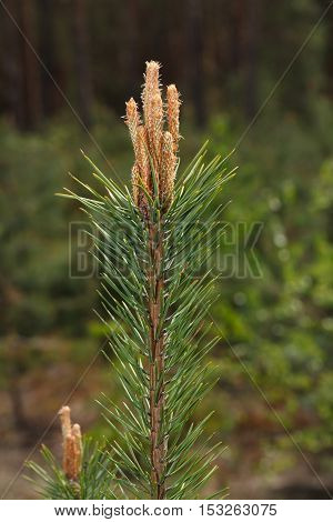 Pine Tree Top With Buds
