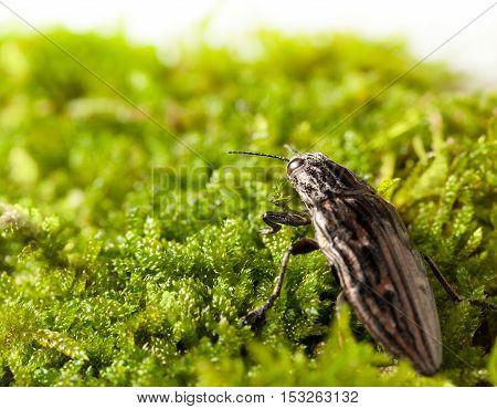 Borer Beetle Rear View