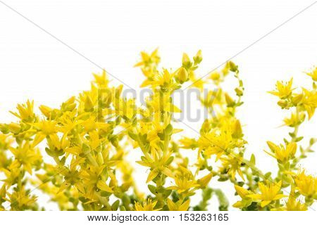 small yellow flowers on a white background