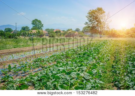 The irrigating a field of cabbage. Montenegro