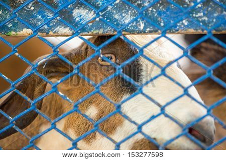 Close-up headshot of a goat behind a blue metal wire mesh fence. Animals and farming concept.