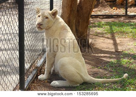A young lion sitting near the fence in the zoo
