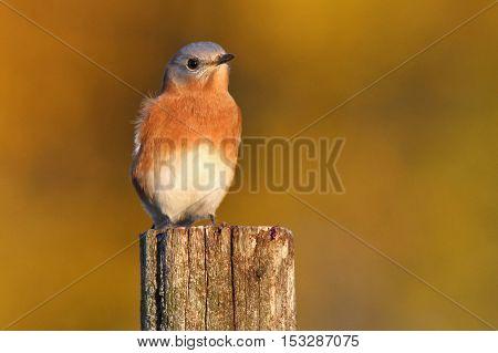 A male eastern bluebird perching on a post in Fall.