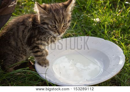 little cat eating milk with saucer on the grass