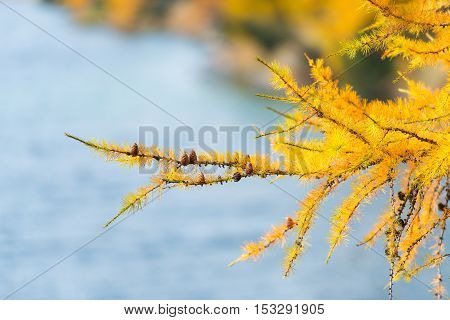 Branch of larch gold autumn color near mountain lake