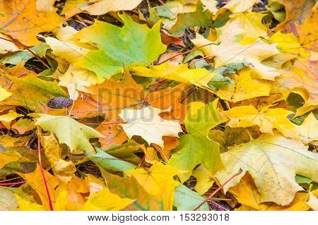 Texture, Pattern, Background. Maple Leaves In Autumn A Tree Or Shrub With Lobed Leaves, Winged Fruit