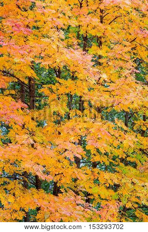 Texture, Pattern, Background.  Texture, Pattern, Background. Autumn Leaves. Rowan. A Mountain Ash, I